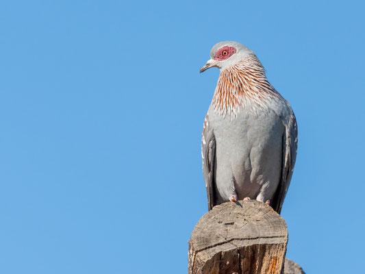 Pigeon roussard, Columba guinea. Omniprésent dans tout le pays, le biset d'Ethiopie.