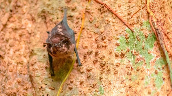 Saccoptère à deux bandes, Saccopteryx bilineata