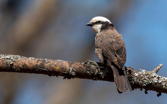 Eurocéphale de Ruppell, Eurochephalus rueppelli. Parc national d' Abijatta- Shalla