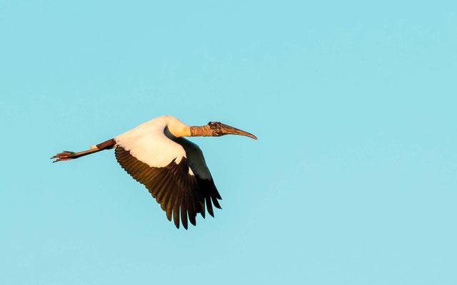 Wood Stork, Nycteria americana