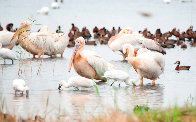 Etang à côté de l'hotêl: Pélican blanc, Spatule blanche, Dendrocycgne veuf et Tantale ibis