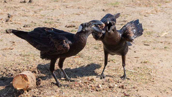 Corbeau cobivau, Corvus crassirostris. Endémique. Hara lodge