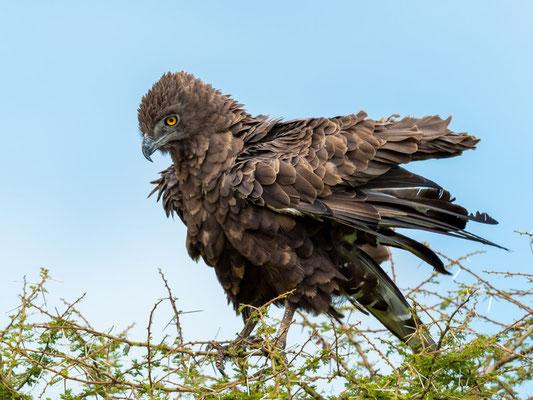 Brown Snake Eagle, Circaetus cinereus
