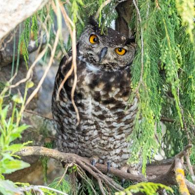 Cape Eagle-Owl, Bubo capensis