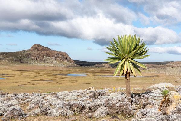 Paysage du plateau de Sanetti, un peu plus de 4000m.a.m, avec au premier plan un lobelia géant, Lobelia rhynchopetalum. ENDÉMIQUE