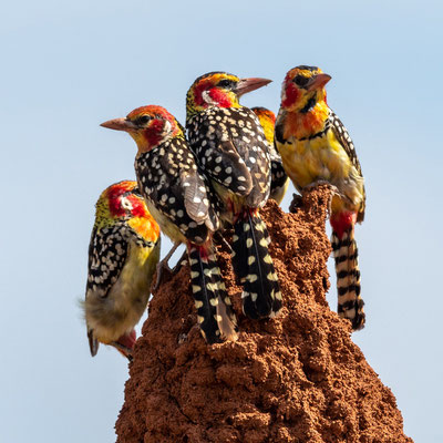 Red-and-yellow Barbet , Trachyphonus erythrocephalus