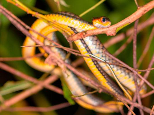 Dendrophidion percarinatum