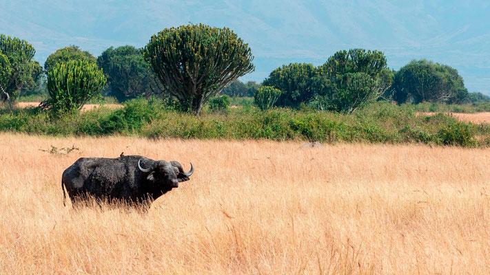 Buffle d'Afrique, Syncerus caffer