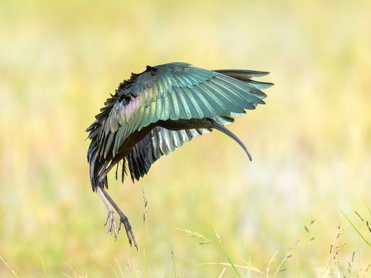 Glossy Ibis, Plegadis falcinellus. Chelekleka Lake