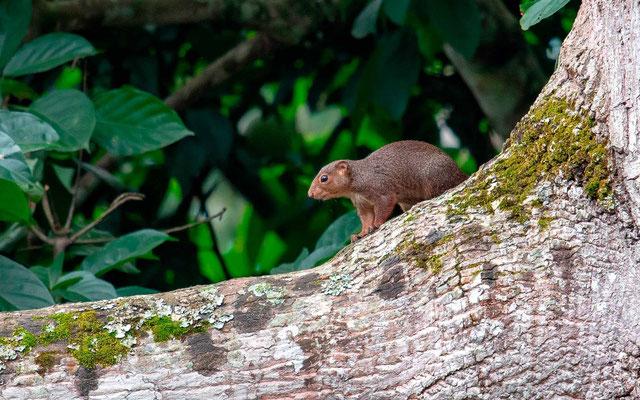 Red-legged sun squirrel, Heliosciurus rufobrachium