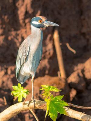 Yellow-crowned Night Heron, Nyctanassa violacea, Tarcoles river