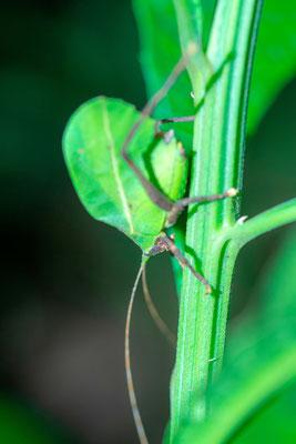 Undefined Grasshopper. probably Tettigoniidae family