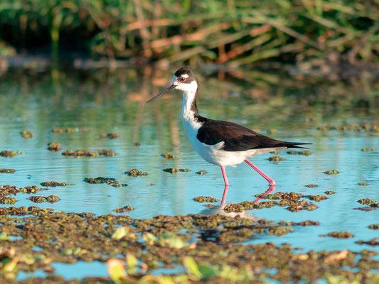 Black-necked Stilt, Imantopus mexicannus