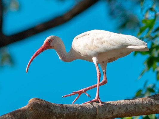 Ibis blanc, Endocimus albus
