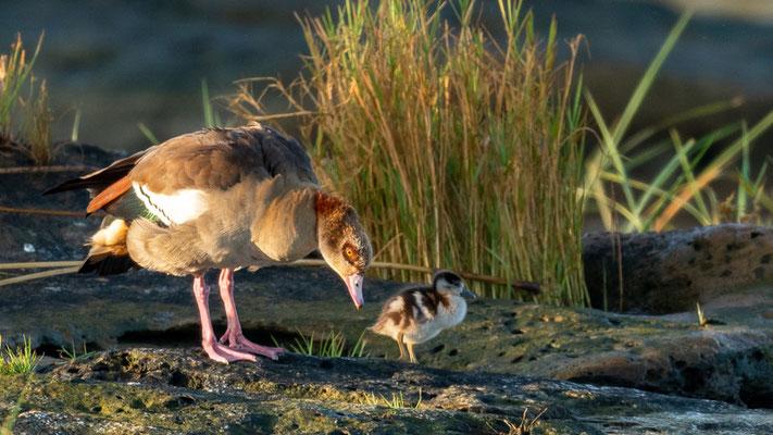 Egyptian Goose and a chick, Alopochen aegyptiaca. Hara lodge