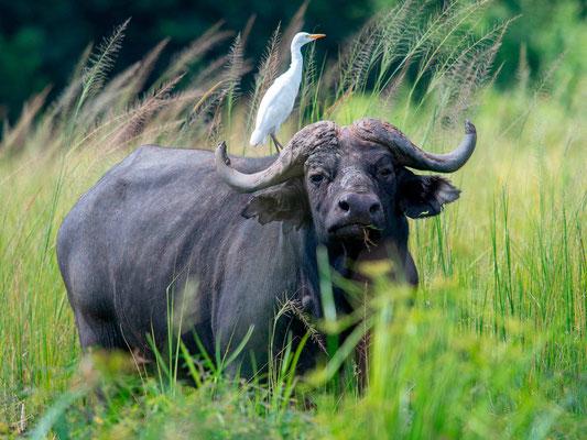 Buffle d'Afrique, Syncerus caffer accompagné d'un Héron garde boeuf, Bubulcus ibis