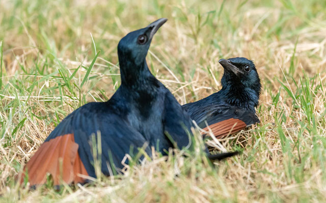 Red-winged Starling, Onychognathus morio