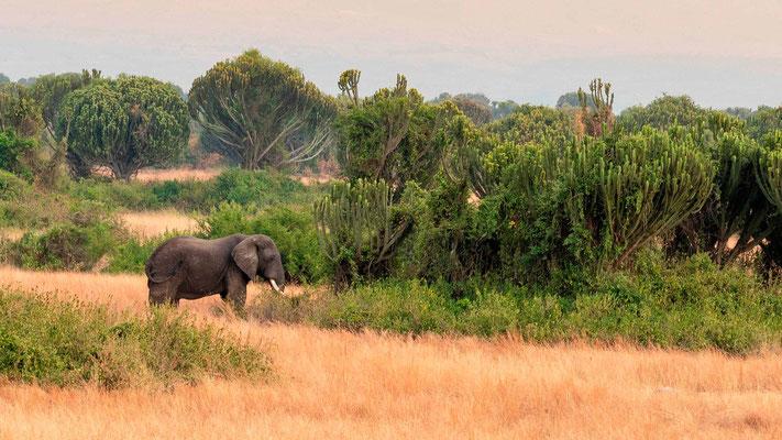 """Elephant d'Afrique devant une """"forêt"""" d'Euphorbia ingens qui arborise la savane et ferme le milieu."""
