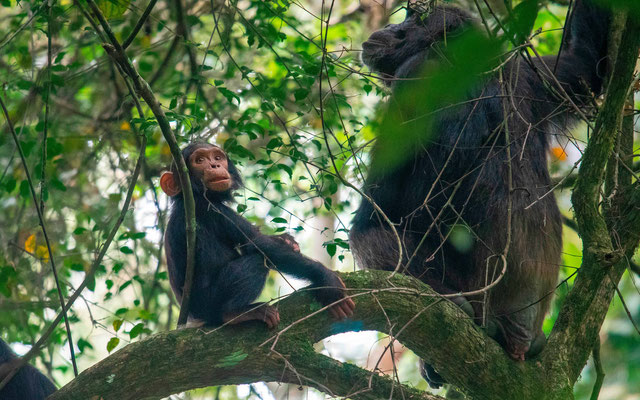 Chimpanzee , Pan troglodytes. Mother and young