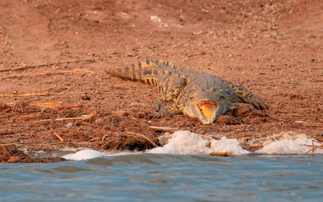 Nile Crocodile, Crocodilus niloticus