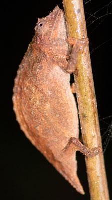 Udzungwa Pygmy Chameleon, Rhampholeon moyeri