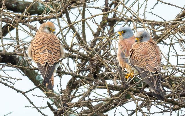Faucon crécerellette, Falco naumanni