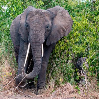 Une femelle éléphant et son petit nous indiquant qu'elle souhaite traverser la route...
