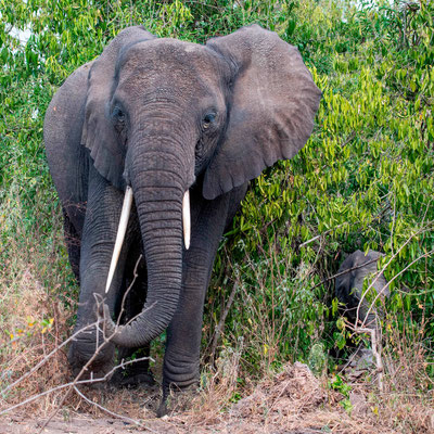 A female African bush elephant, Loxodonta africana and her calf showing us that she wants to cross the road...