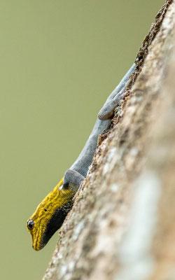 Yellow-headed dwarf geck, Lygodactylus luteopicturatus