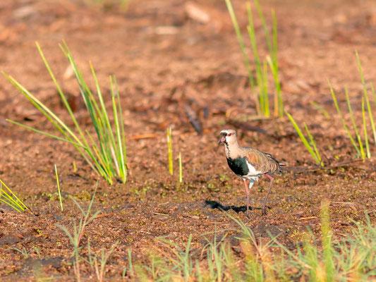 Vanneau téro, Vanellus chilensis