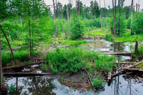 Milieu inondé dans la forêt de Bialowieza