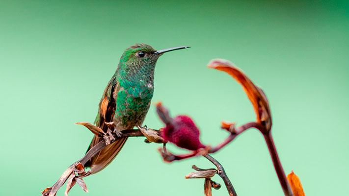 Stripe-tailed Hummingbird, Eupherusa eximia mâle