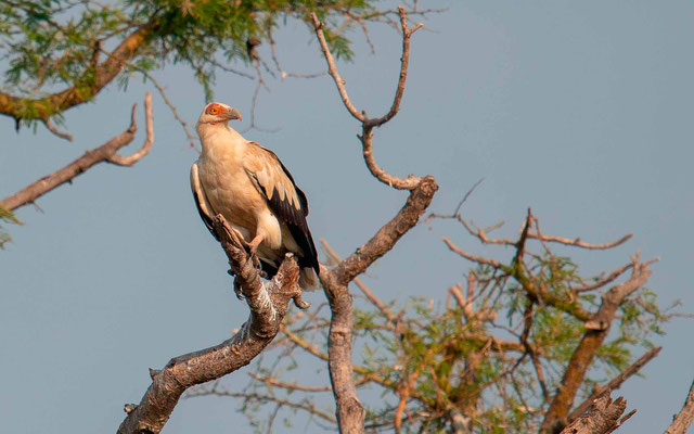 Palm-nut Vulture, Gypohierax angolensis