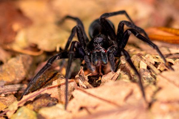 Arachnide indéterminée,  probablement famille des Theraphosidae.