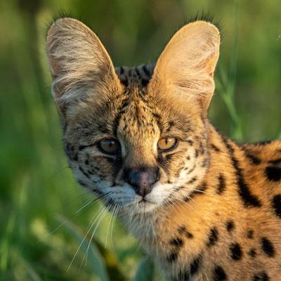 Série du portrait du Serval, Leptailurus serval