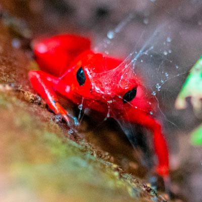 Dendrobate fraise, Oophaga pumilio
