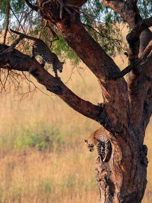 Léopard, Panthera pardus. Alors que nous pensions n'en voir qu'un seul, un deuxième est apparu. Probablement une mère et son jeune.