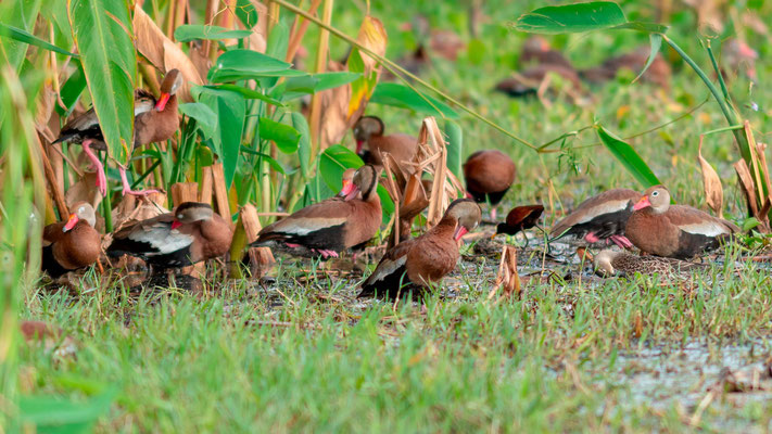 Dendrocygne à ventre noir, Dendrocygna autumnalis