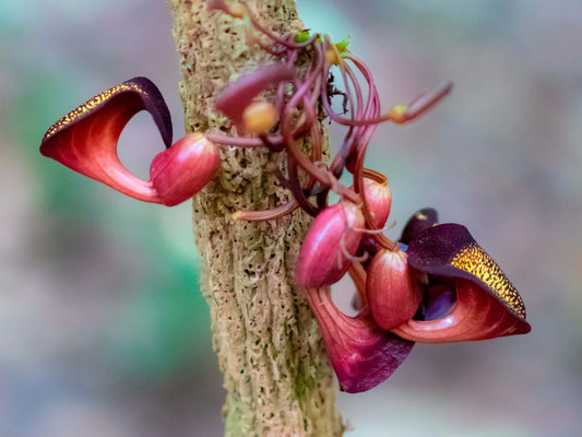 Aristolochia sp. dans le PN de Carara
