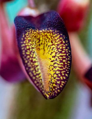 Aristolochia sp. , Carara NP
