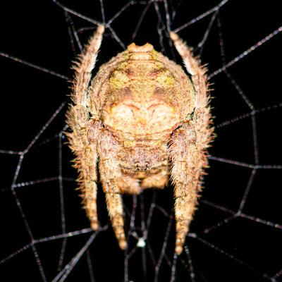 Araignée du Genre Caerostris