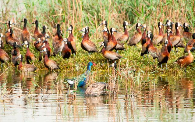 White-faced Whistling Duck, Dendrocygna viduata, Fulvous Whistling Duck, Dendrocygna bicolor and Western Swamphen, Porphyrio porphyrio