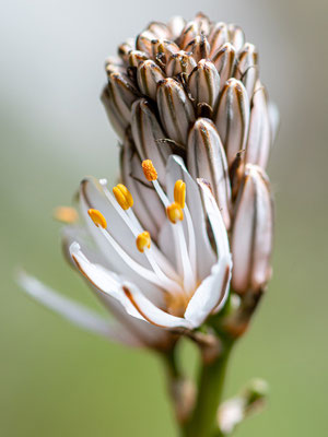 Branched asphodel , Asphodelus ramosus