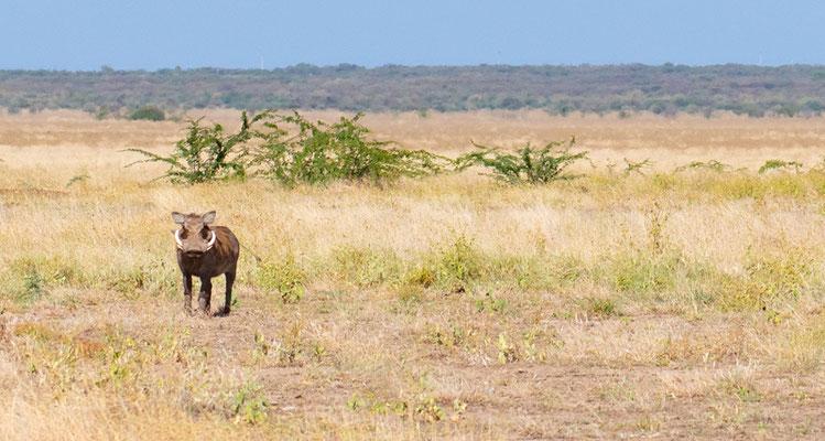 Desert warthog, Phacochoerus aethiopicus. Aledeghi reserve