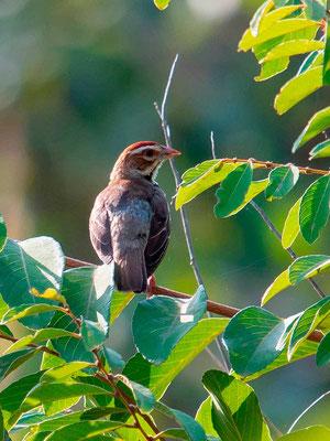 Chestnut-crowned Sparrow-Weaver, Plocepasser superciliosus
