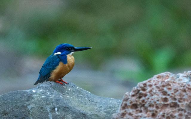 Half-collared Kingfisher, Alcedo semitorquata