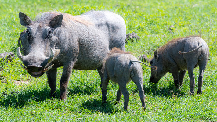 Common warthog family, Phacochoerus africanus