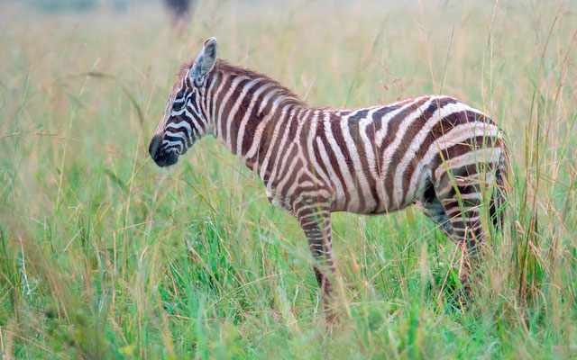 Zèbre des plaines, Equus quagga