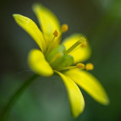 Fleur indéterminée