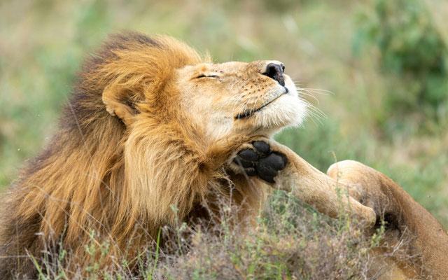 Portrait d'un magnifique mâle de Lion, Panthera leo
